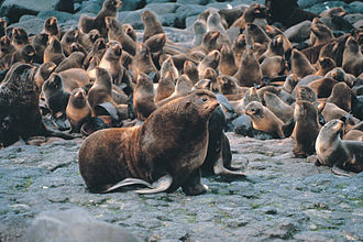 Large male northern fur seal and harem of smaller females